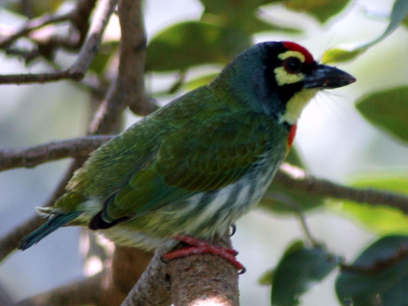 Photographer:web | Ceoppersmith Barbet
