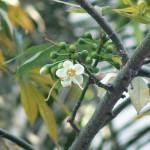 Material Enterprises- (Ceiba pentandra-Kapok, White silk-cotton tree)