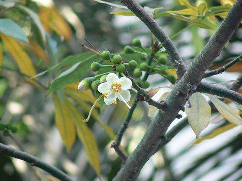 Photographer:www.blossomlikeaflower.com | Material Enterprises- (Ceiba pentandra-Kapok, White silk-cotton tree)