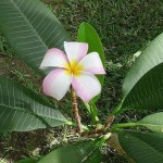 Psychological Perfection in Matter (Plumeria rubra)