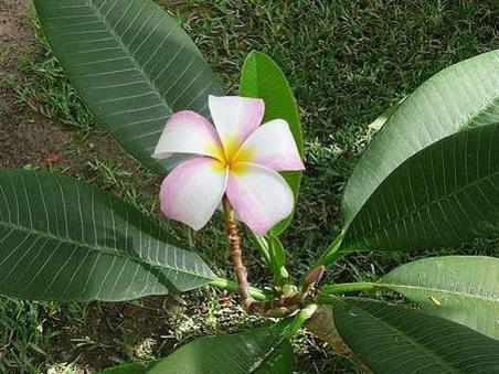 Photographer:www.blossomlikeaflower.com | Psychological Perfection in Matter (Plumeria rubra)