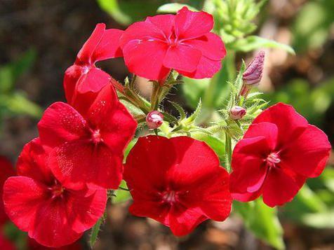 Photographer:www.blossomlikeaflower.com | Skill in Material Work- (Phlox drummondii)