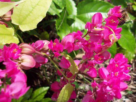 Photographer:www.blossomlikeaflower.com | Harmony in the Material Vital (Antigonon leptopus)