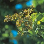 Liberation in the Vital (Berrya cordifolia [Berrya ammonilla])