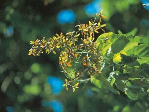 Photographer:www.blossomlikeaflower.com | Liberation in the Vital (Berrya cordifolia [Berrya ammonilla])