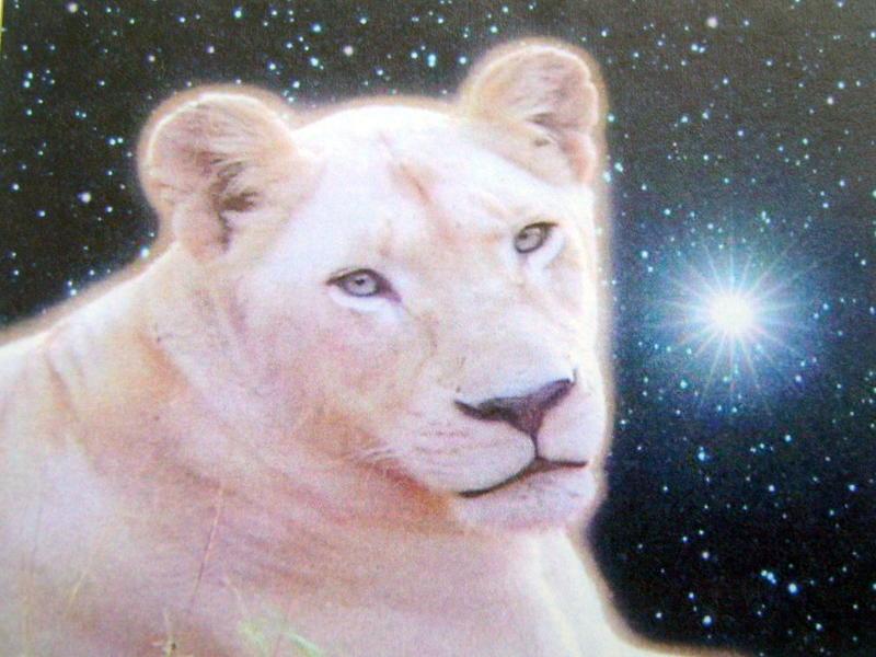Photographer:Leslie Staler, Bahar, Cedona Holly | Over The Sun - white lioness