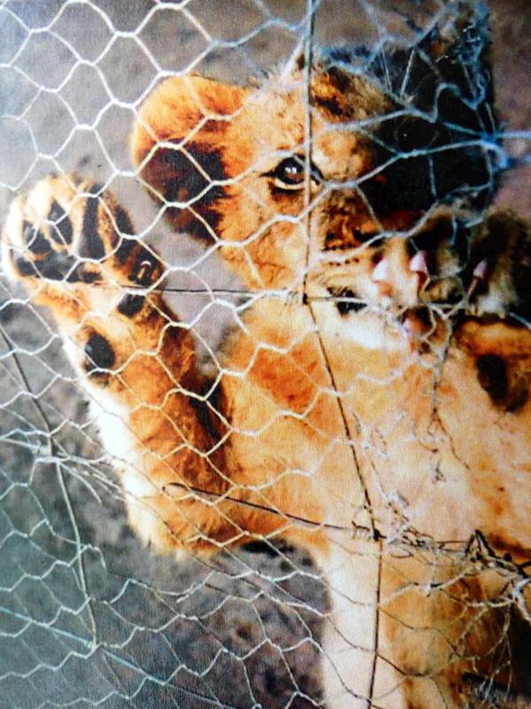 Photographer:Leslie Staler, Bahar, Cedona Holly | Over The Sun - caged white lions