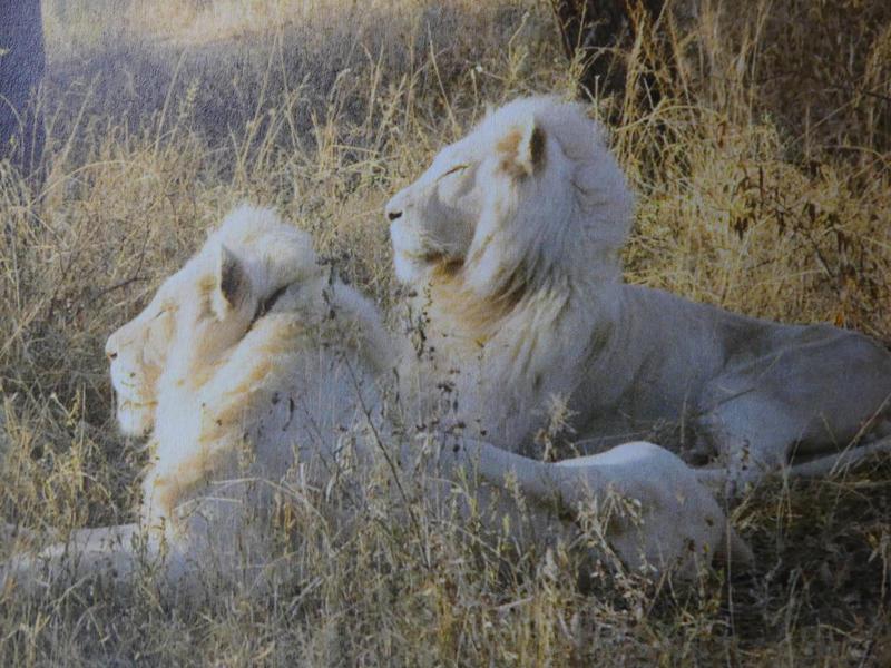 Photographer:Leslie Staler, Bahar, Cedona Holly | white lions