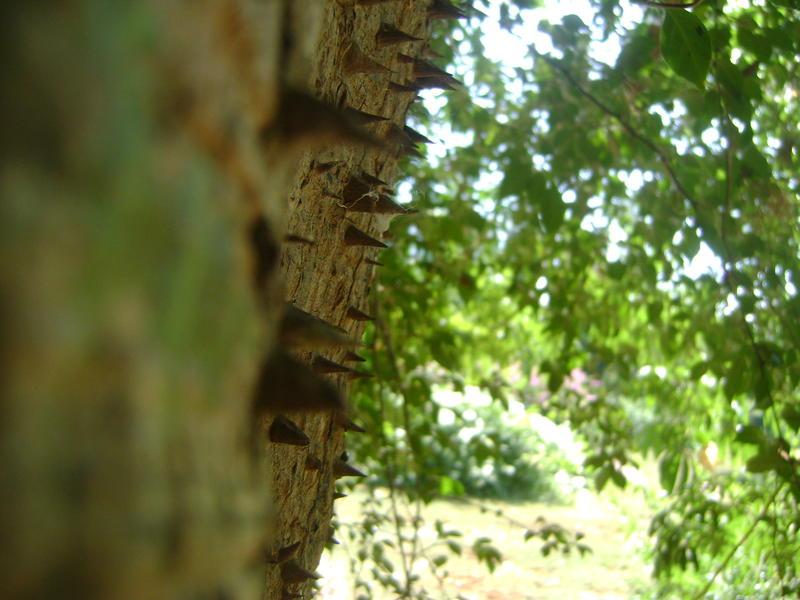 Photographer:Hannah   cotton tree