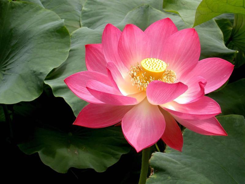 Photographer:web   Sri Aurobindo's Lotus...open
