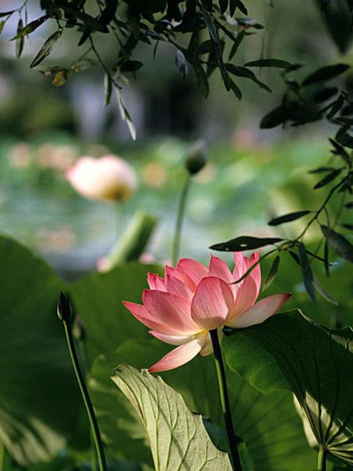 Photographer:web   Sri Aurobindo's Lotus