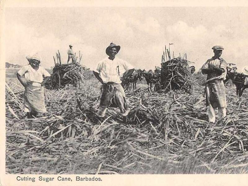 Photographer:web | cutting sugar cane