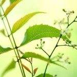 Neem Tree - Spiritual Atmosphere