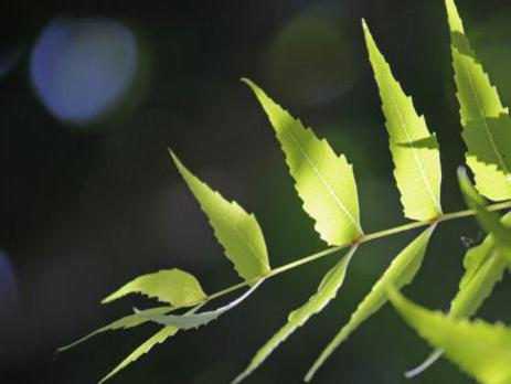 Photographer:web | Neem Tree - Spiritual Atmosphere