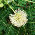 Leucaena leucocephala - Knowledge