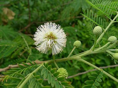 Photographer:web | Leucaena leucocephala - Knowledge