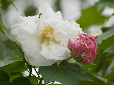 Photographer:web   The Divine Grace - hibiscus mutabilis