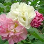 The Divine Grace - hibiscus mutabilis
