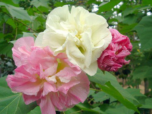 Photographer:web | The Divine Grace - hibiscus mutabilis