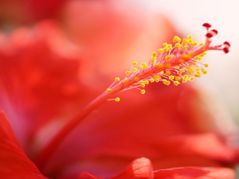 Photographer:web | hibiscus