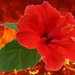 Hibiscus on fire
