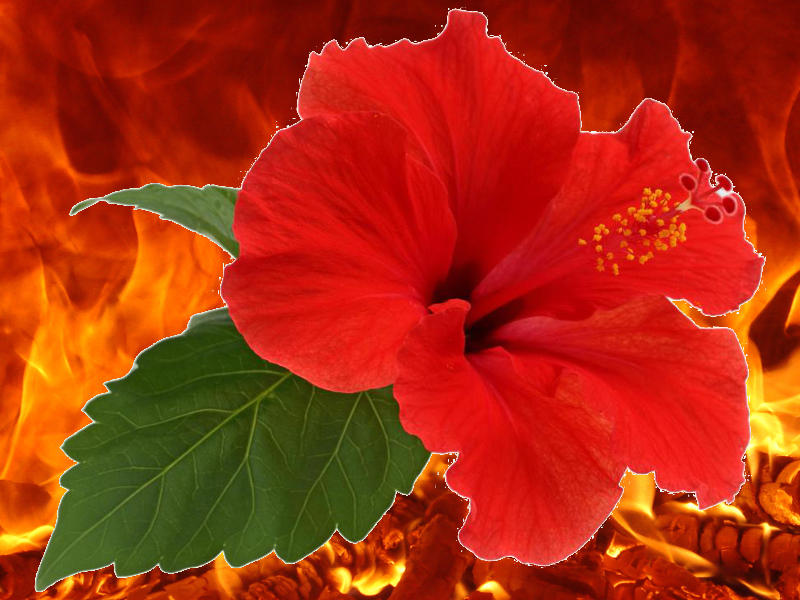 Photographer:Andrea | Hibiscus on fire