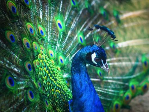 Photographer:web | peacock