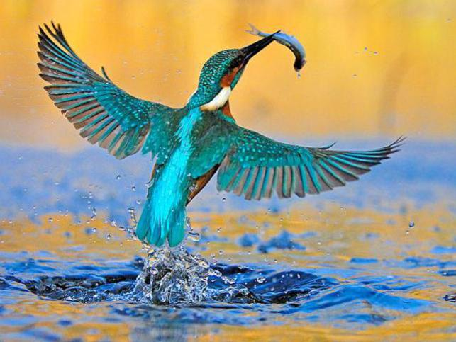 Photographer:web | king fisher