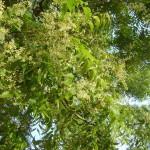blossimg neem tree