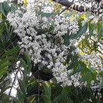 neem tree blossoming
