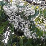 neem tree blossoming