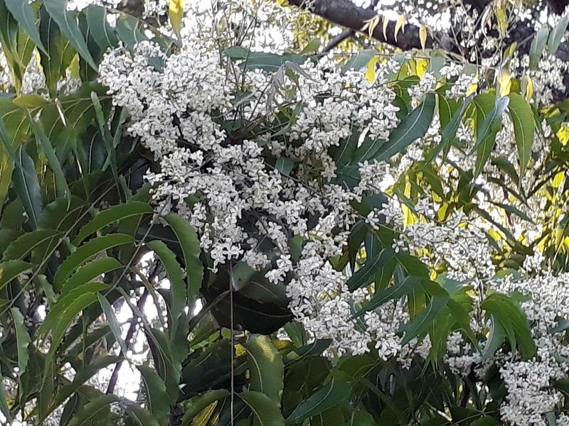 Photographer:Zinka | neem tree blossoming