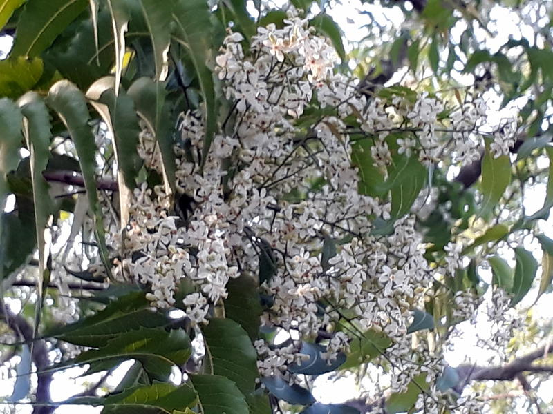 Photographer:Zinka   neem tree blossoming