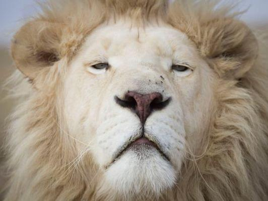 Photographer:web | White Lion of South Africa