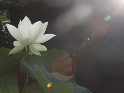 Photographer:web | lotus