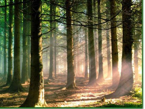 Photographer:web | Siberian cedar trees
