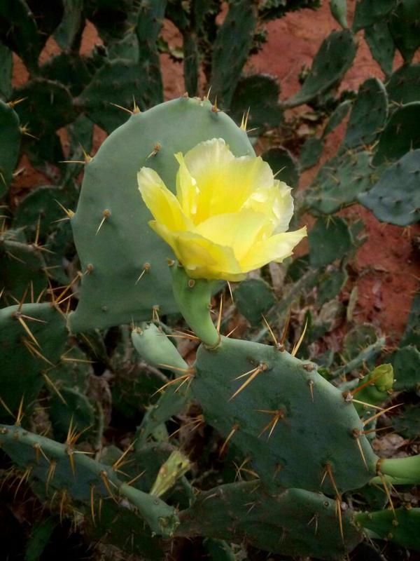Photographer:Amelia | opunica cactus blossoming