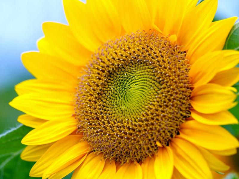 Photographer:web | sunflower