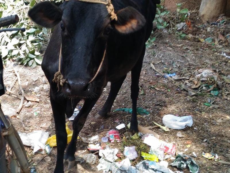 Photographer:Gino | Cow eating plastic
