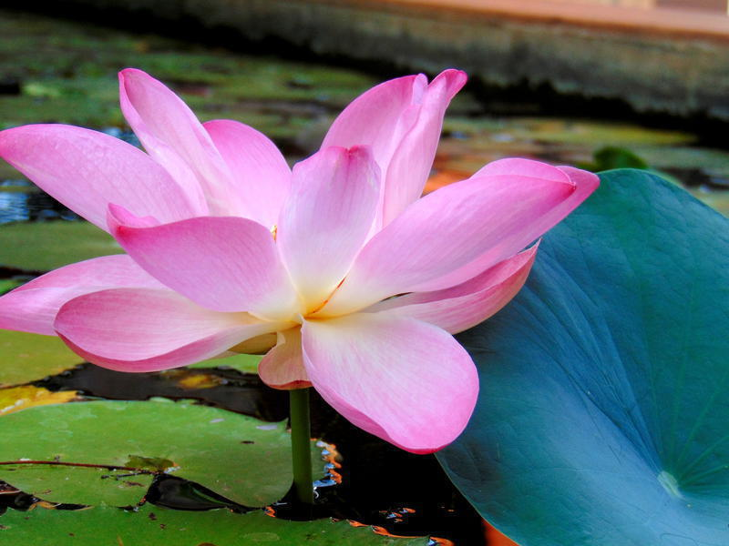 Photographer:Yasna | pink water lilly