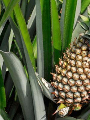Photographer:web   pineapple