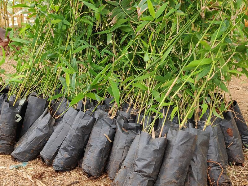Photographer:Akshay | Bhima Bamboo saplings ready to be planted