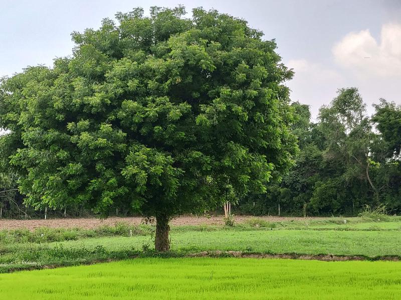 Photographer:Akshay | Paddy being grown at Ayarpadi Farm