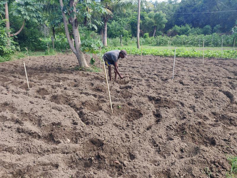 Photographer:Akshay | A fresh batch of tomatoes planted at Kottakarai Farm