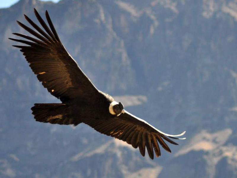 Photographer:web | America Latina Indigena: Condor en los Andes