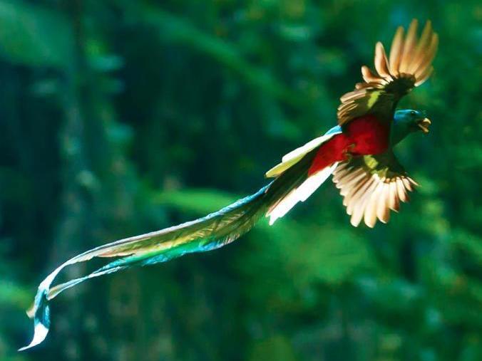 Photographer:web | Quetzal: pajaro de Guatemala y de la America Central