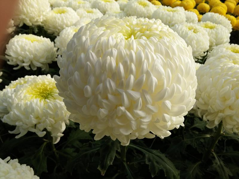 Photographer:web   Chrysanthemum - overcoming Death