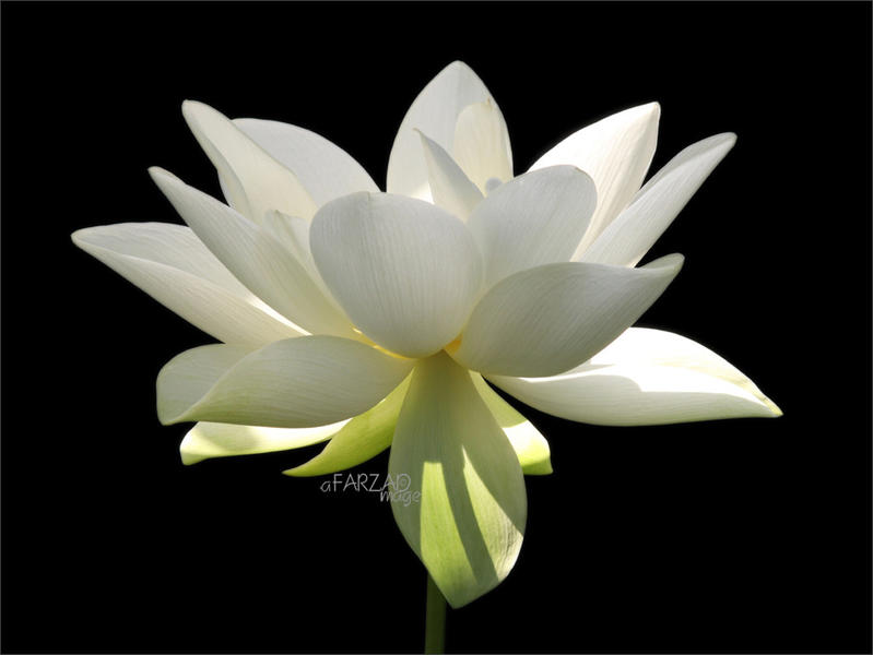 Photographer:Web   Aditi - The Divine Consciousness - Pure, Immaculate, Gloriously Powerful - (This is the flower of the Mother)