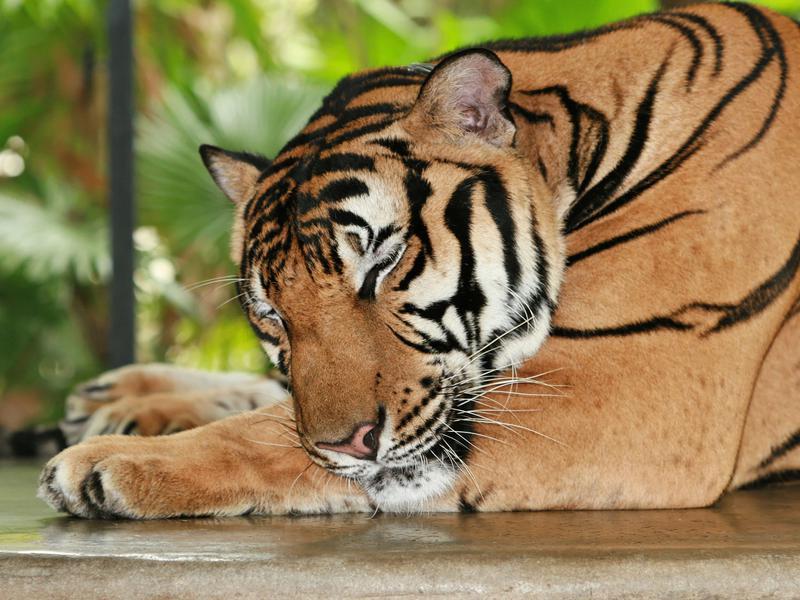 Photographer:Michael Green | Tiger's dreams