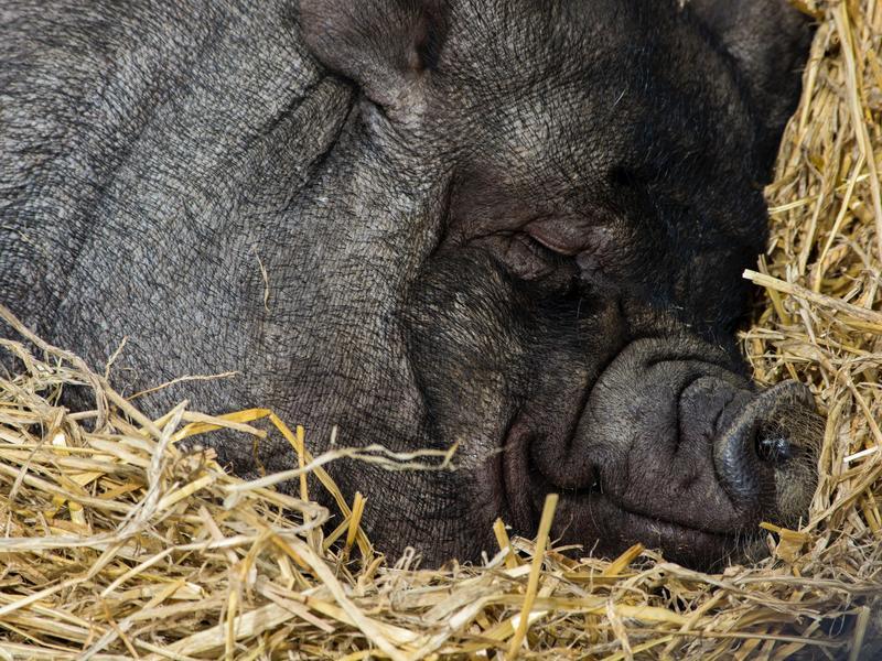 Photographer:Jon Butterworth | Relaxing pig